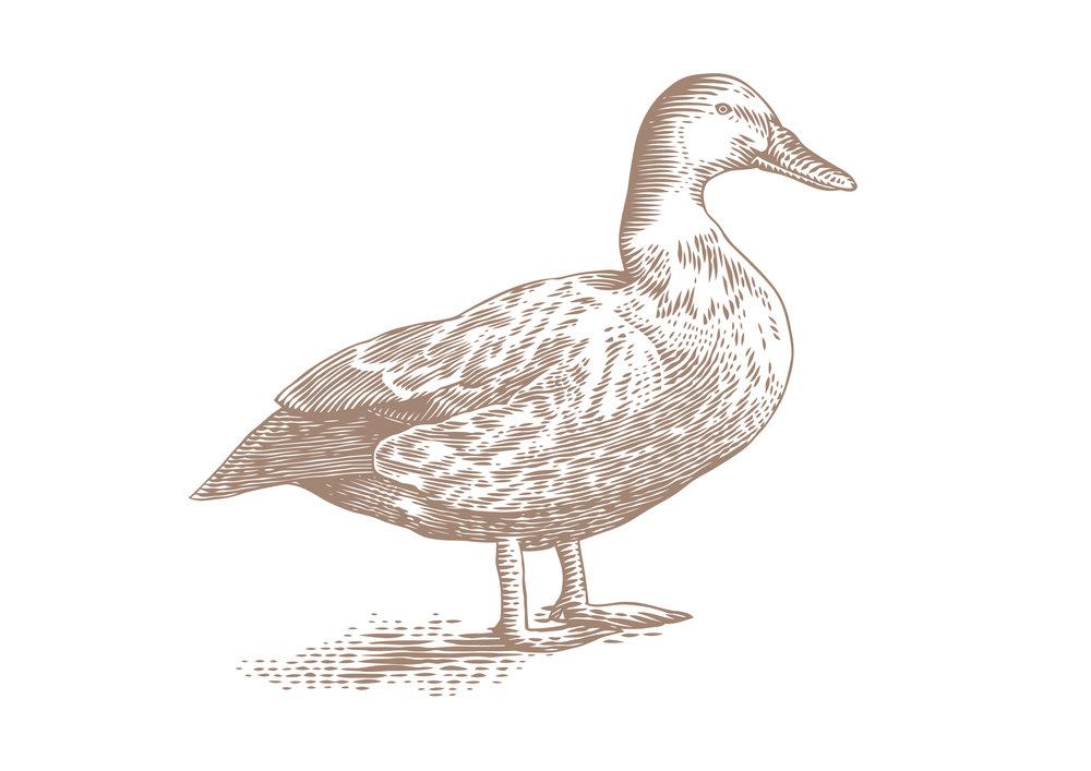 duck sepia weybridge.jpg