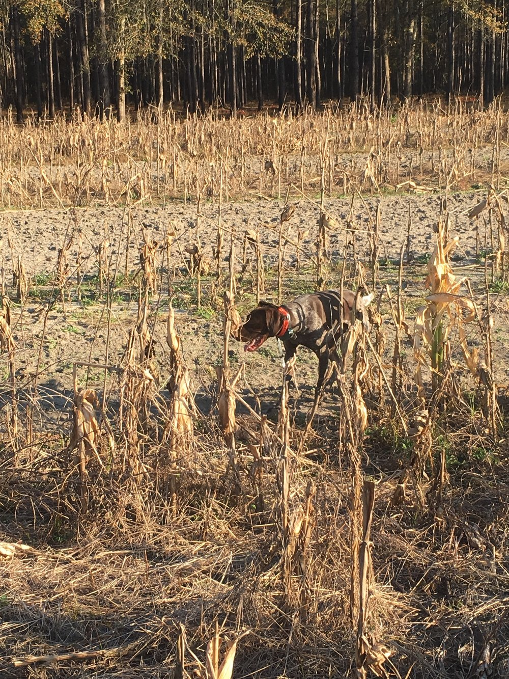 Maintained fields with corn planted for the quail.