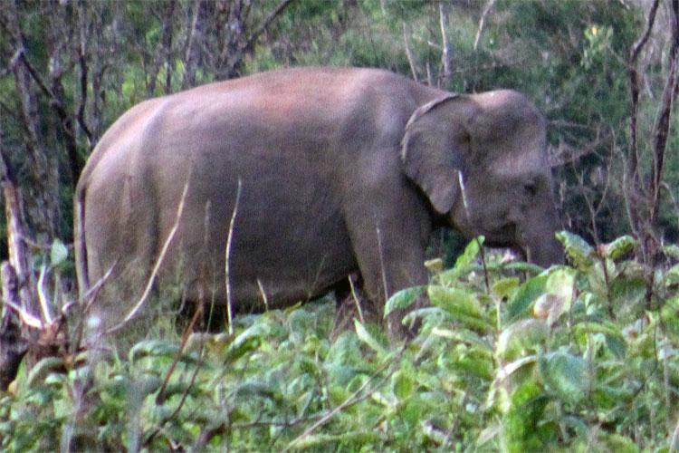 Minneriya - Elephant