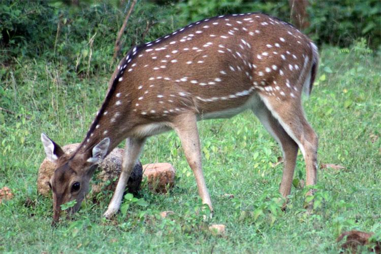 Minneriya Deer