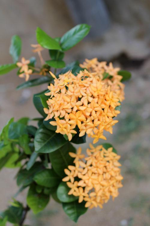 Maalu Maalu Flowers