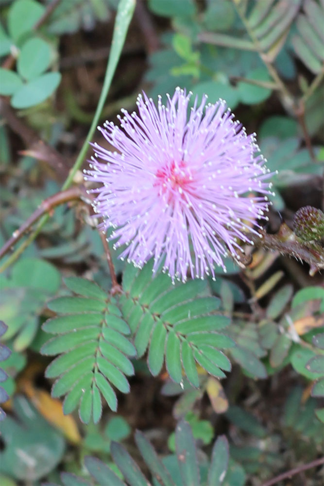 Polonnaruwa Flower