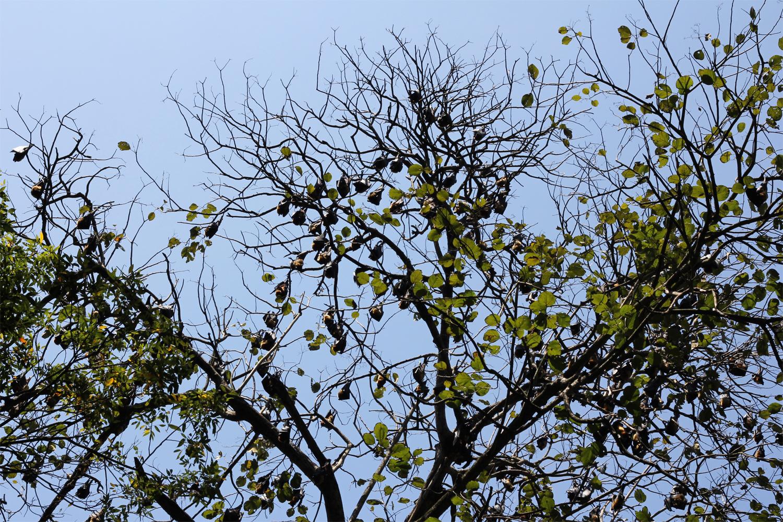 Peradeniya Royal Botanical Gardens - Sri Lanka Bat Trees