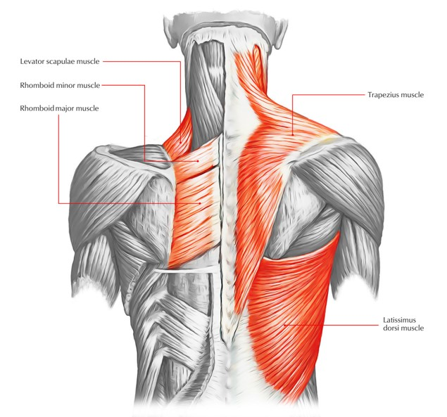 Muscles that Pull.jpg