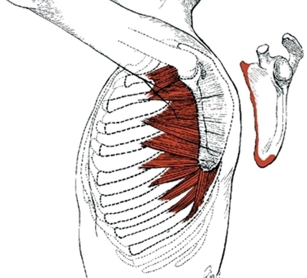 Muscles that Push.jpg