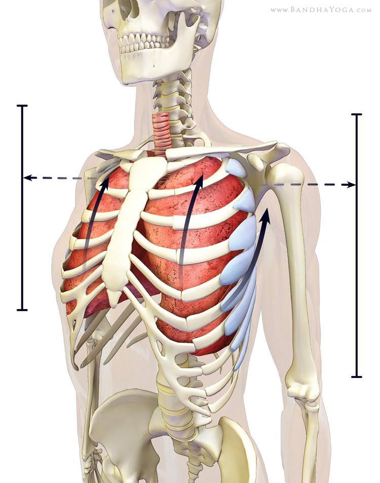 Serratus Anterior and the Rhomboids - PUSH & PULLco-activating the expand the chestExpanding the Chest in Sukkasana, by Ray LongCool tip for Deeper Breathing, by Ray Long
