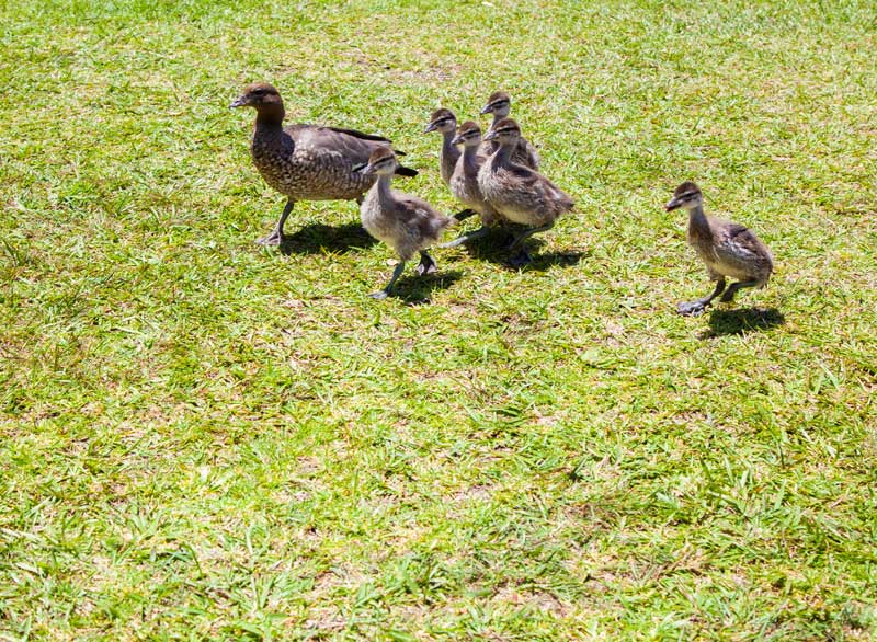 If you visited on the day you may have spotted this darling little duck family