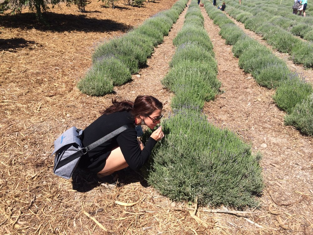 The Young Living Lavender farm in Mona, Utah.
