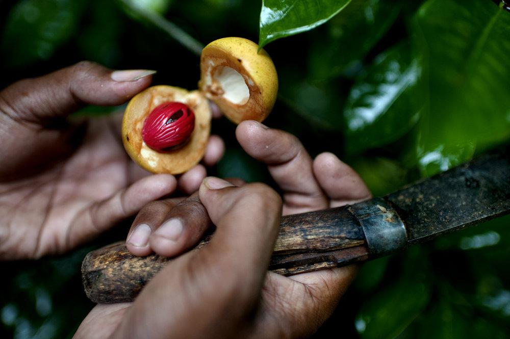 Nutmeg, Banda island/ Indonesia