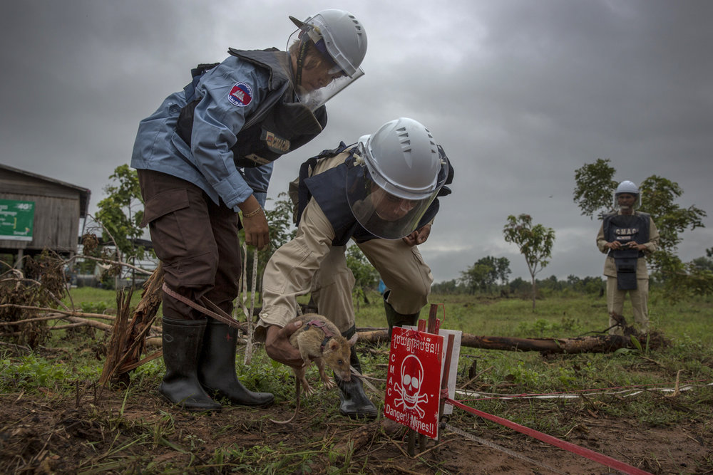 A rat is locating land mines / Cambodia - 2016