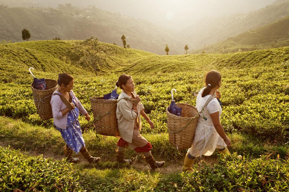 Te plantagen, Darjeeling / India