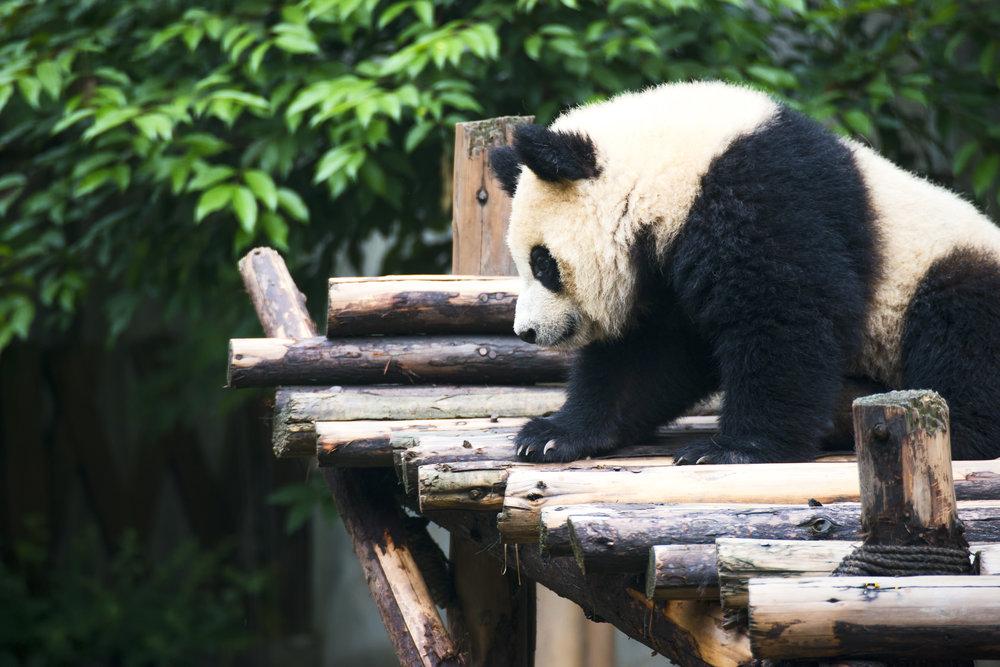 Chengdu Panda.jpg