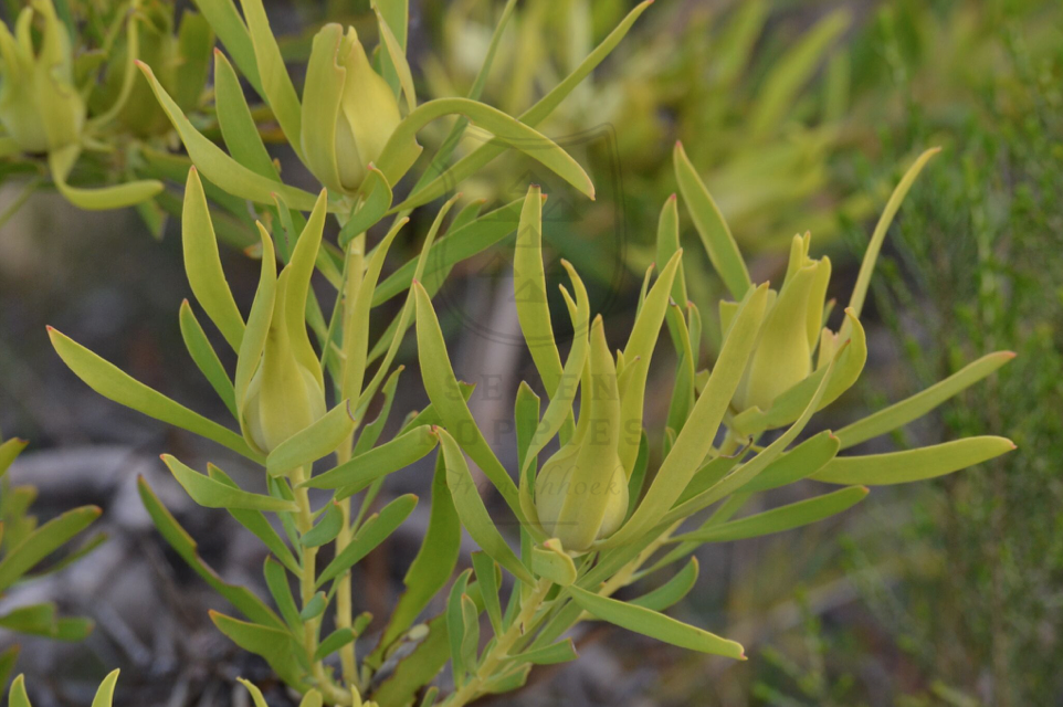 Leucadendron salignum female