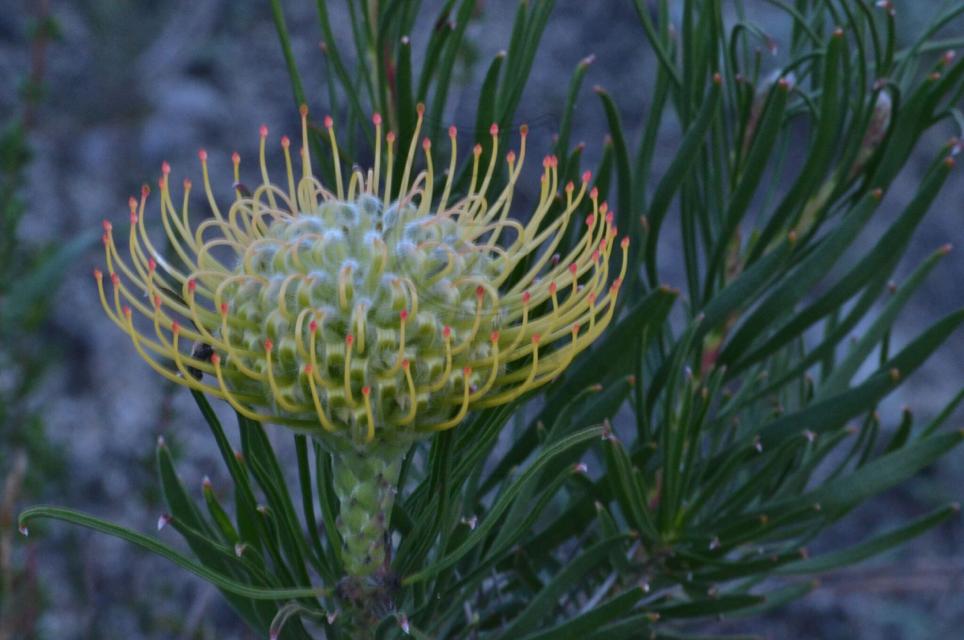 Leucospermum lineara