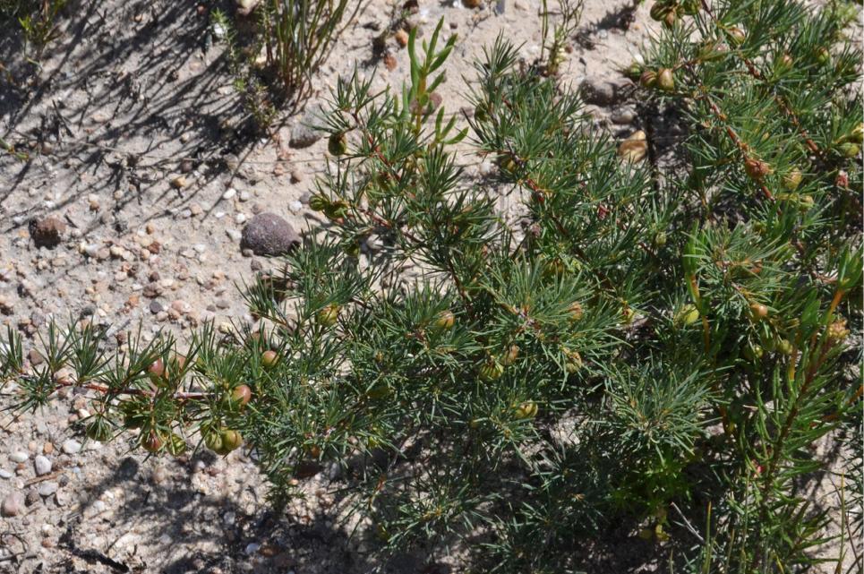 Serbia rosmarifolia