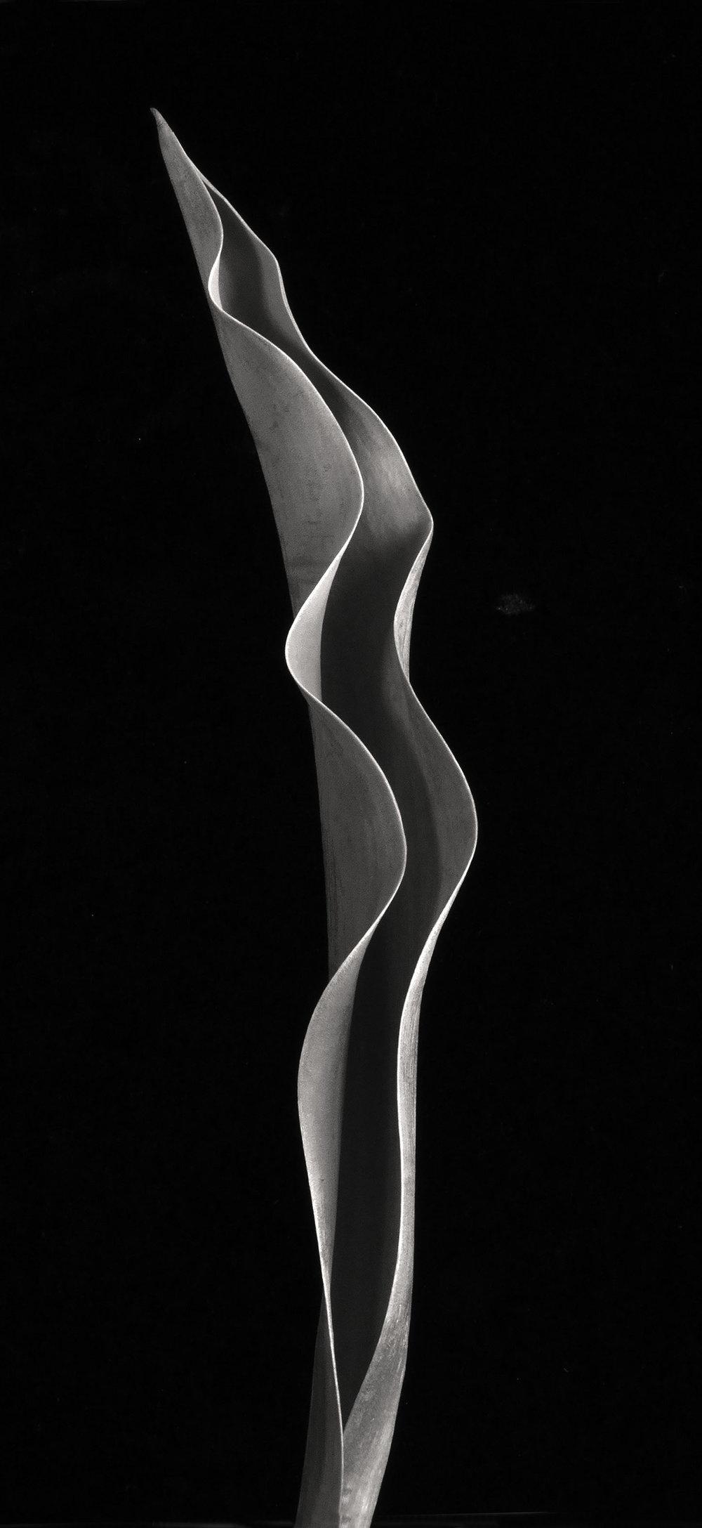 Carol-Lawrence_Clarissa-tulip.jpg