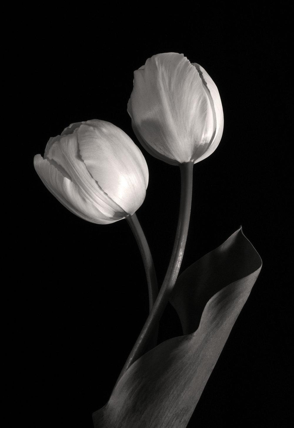 Carol-Lawrence_two-tulips-with-dark-leaf-warmer.jpg