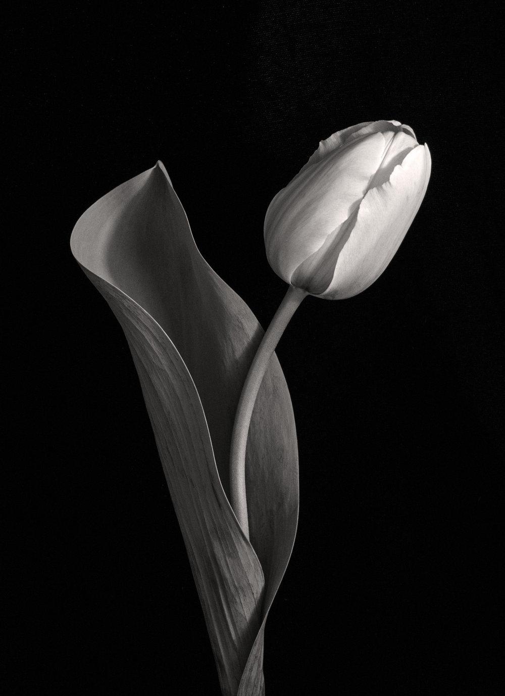 Carol-Lawrence_tulip-with-big-curve-warmer.jpg