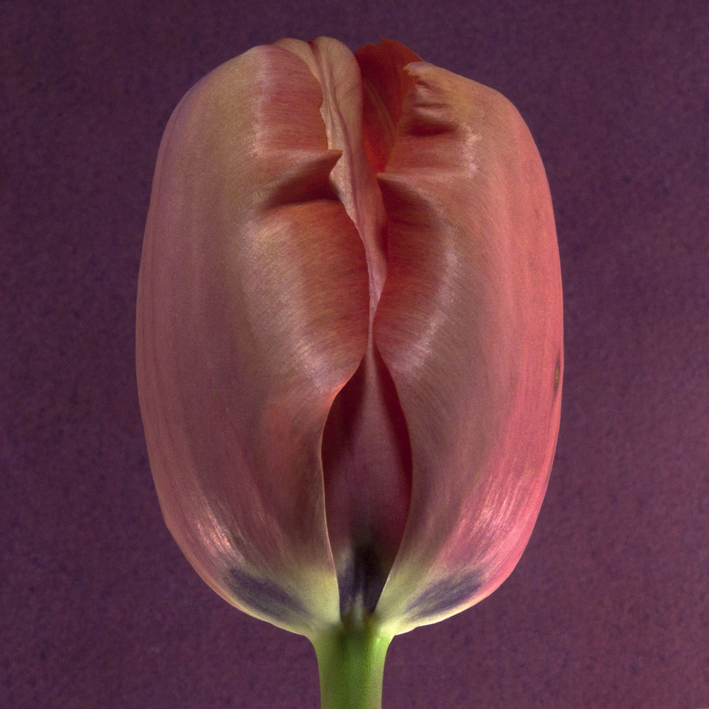 Carol-Lawrence-Salmon-Tulip-3-27-2.jpg