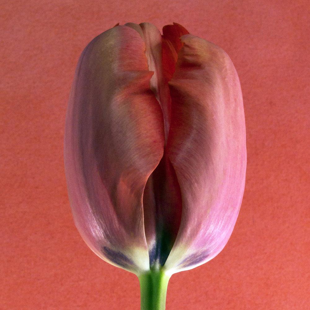 Carol-Lawrence-Salmon-Tulip-3-27-4.jpg