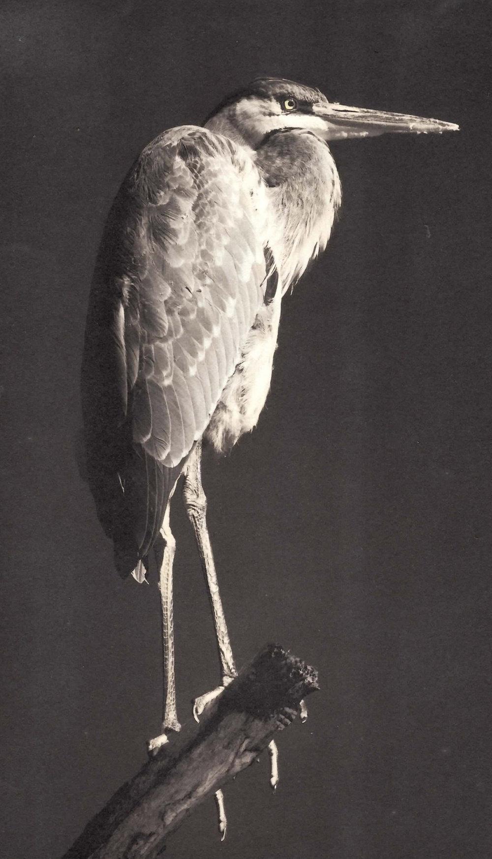 Carol-Lawrence-2-legged-heron.jpg