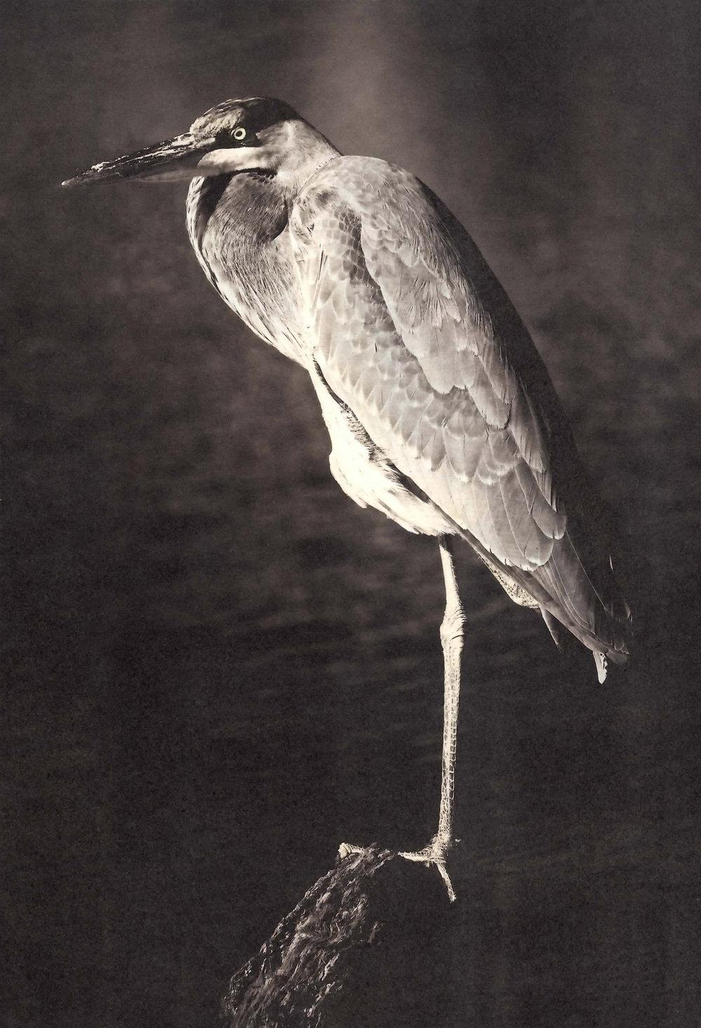 Carol-Lawrence-One-legged-heron.jpg