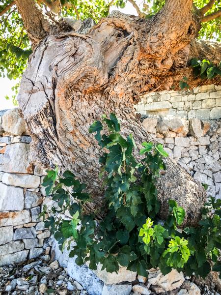 i pastini fig tree.jpg