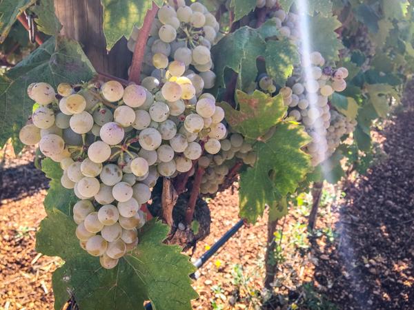 i pastini grapes.jpg