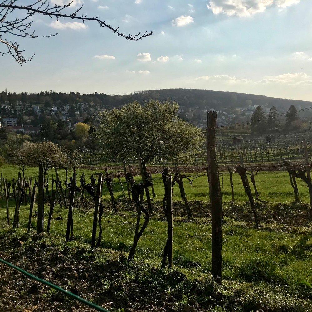 Vienna vineyard IMG_4147.JPG