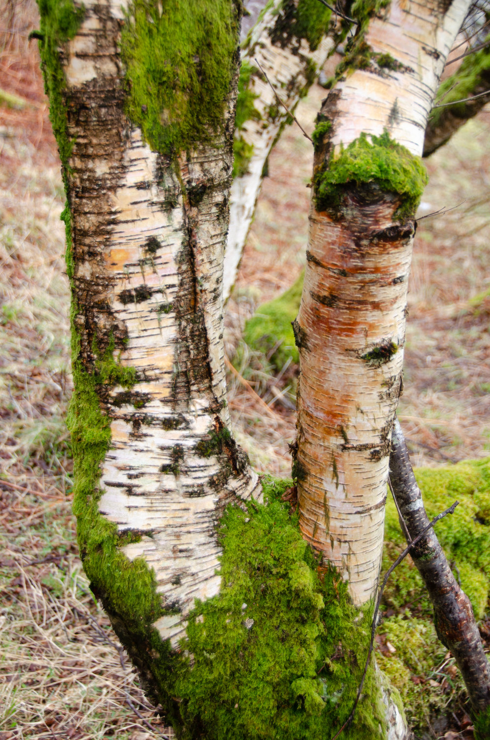a mossy silver birch