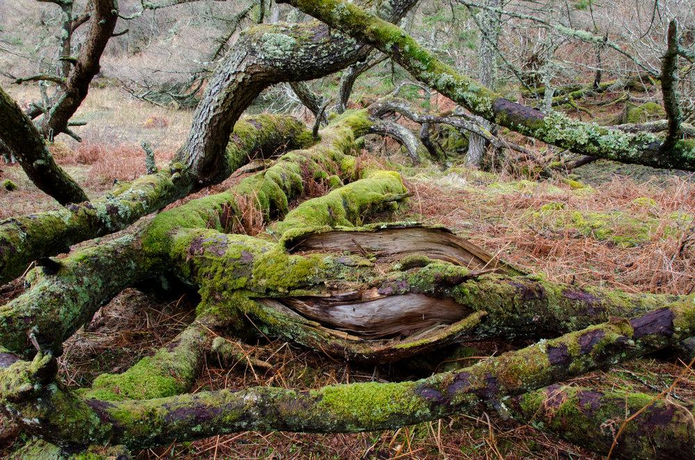 A fallen Scot's pine, coated in moss