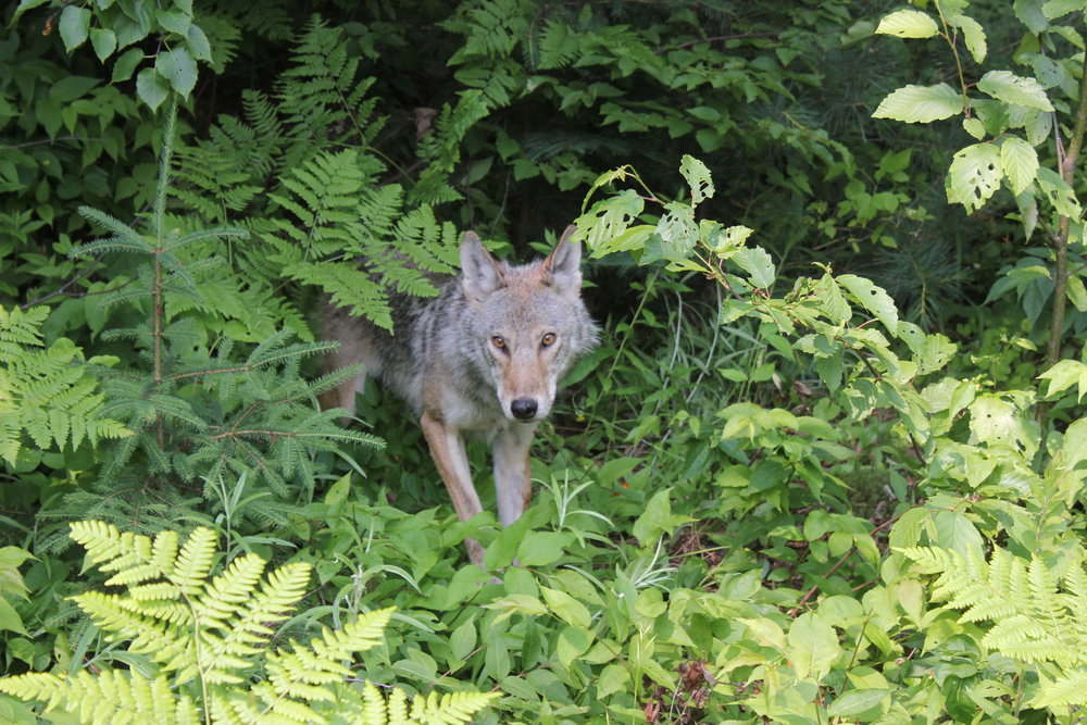 Female Algonquin eastern wolf in Maganasibi watershed