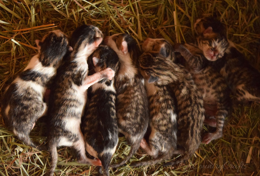 litter of 8 kittens