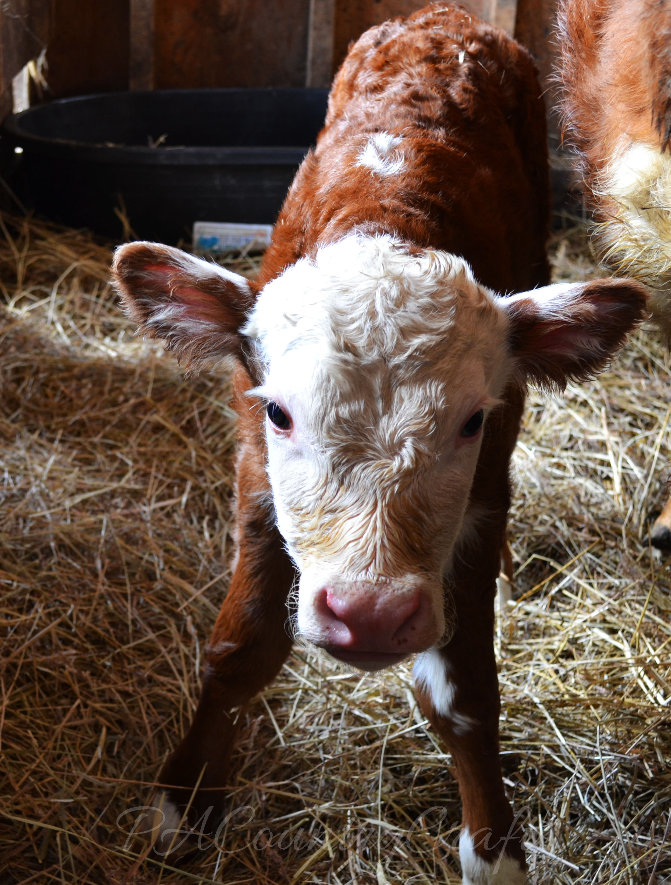 wobbly new calf standing