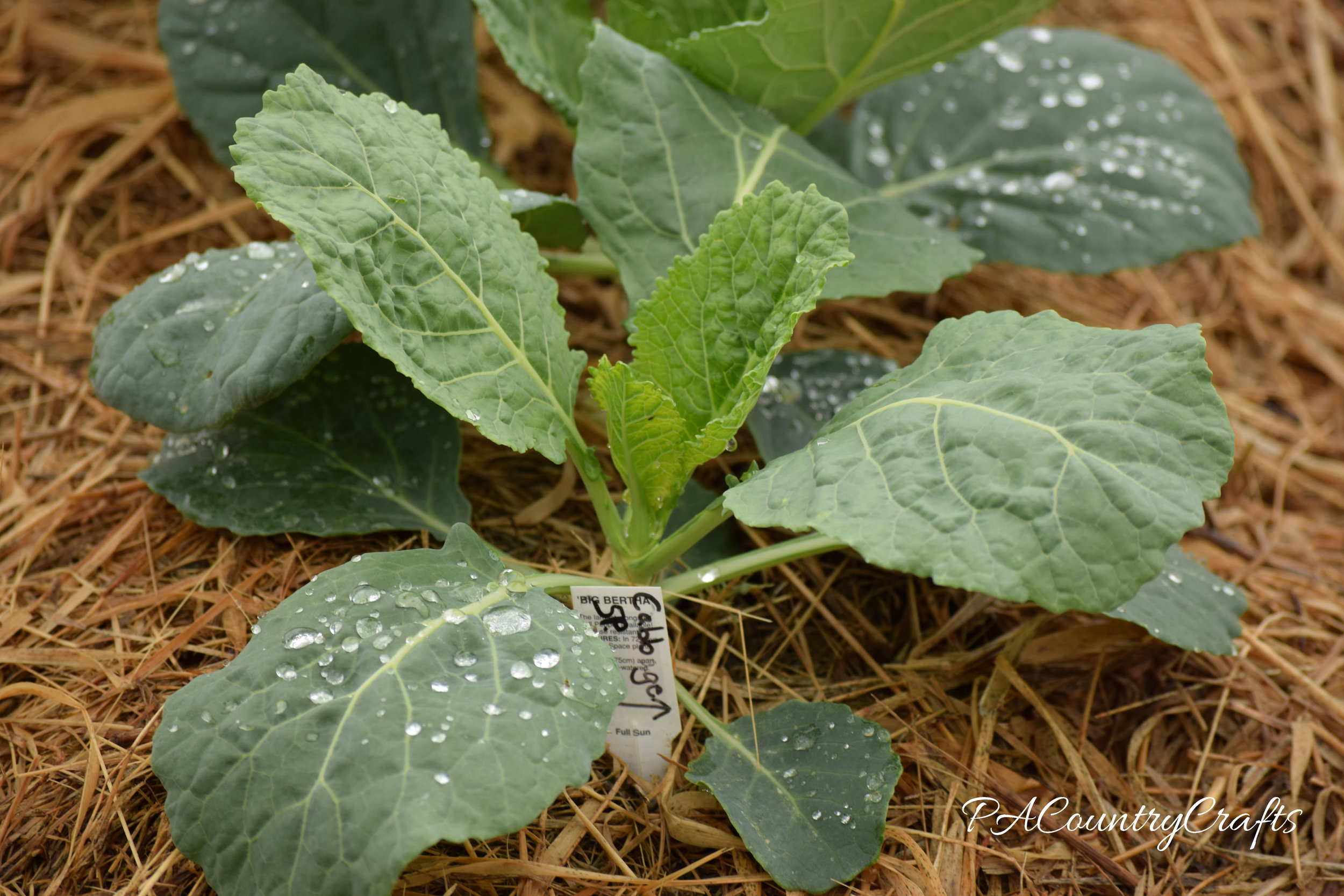 small cabbage plant