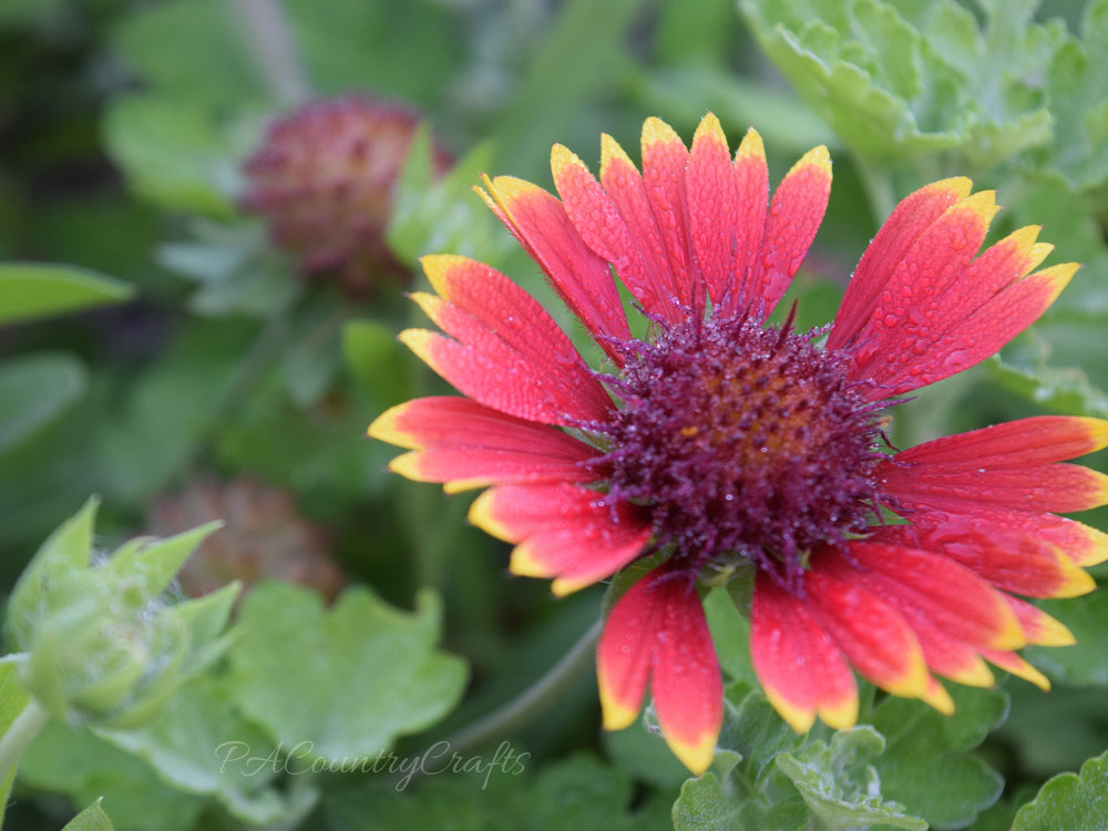 dew on blanket flower