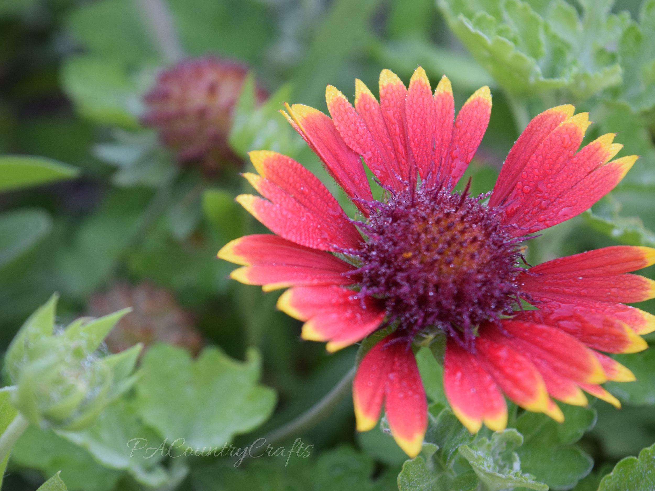 dew on blanket flower