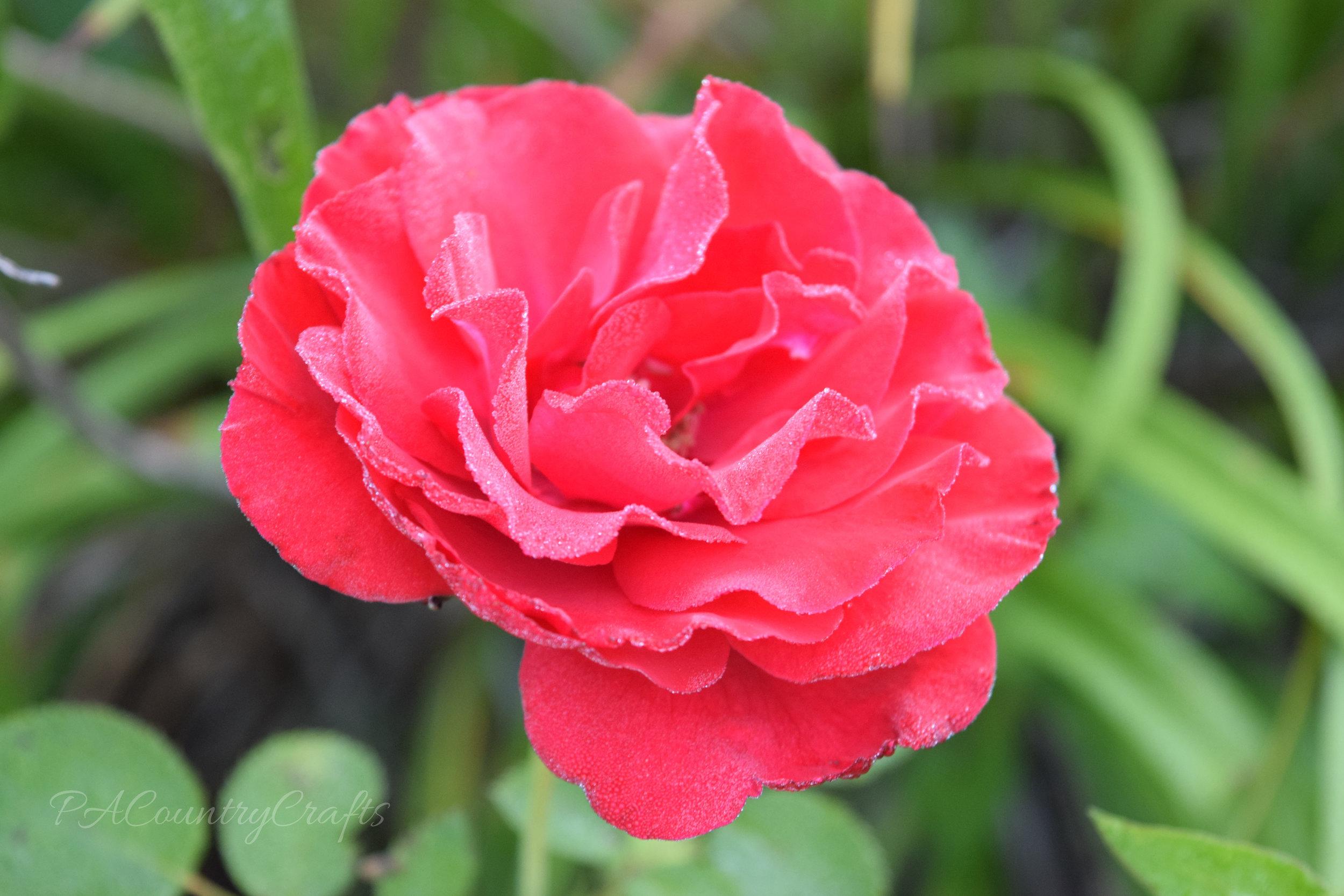 dew on a rose