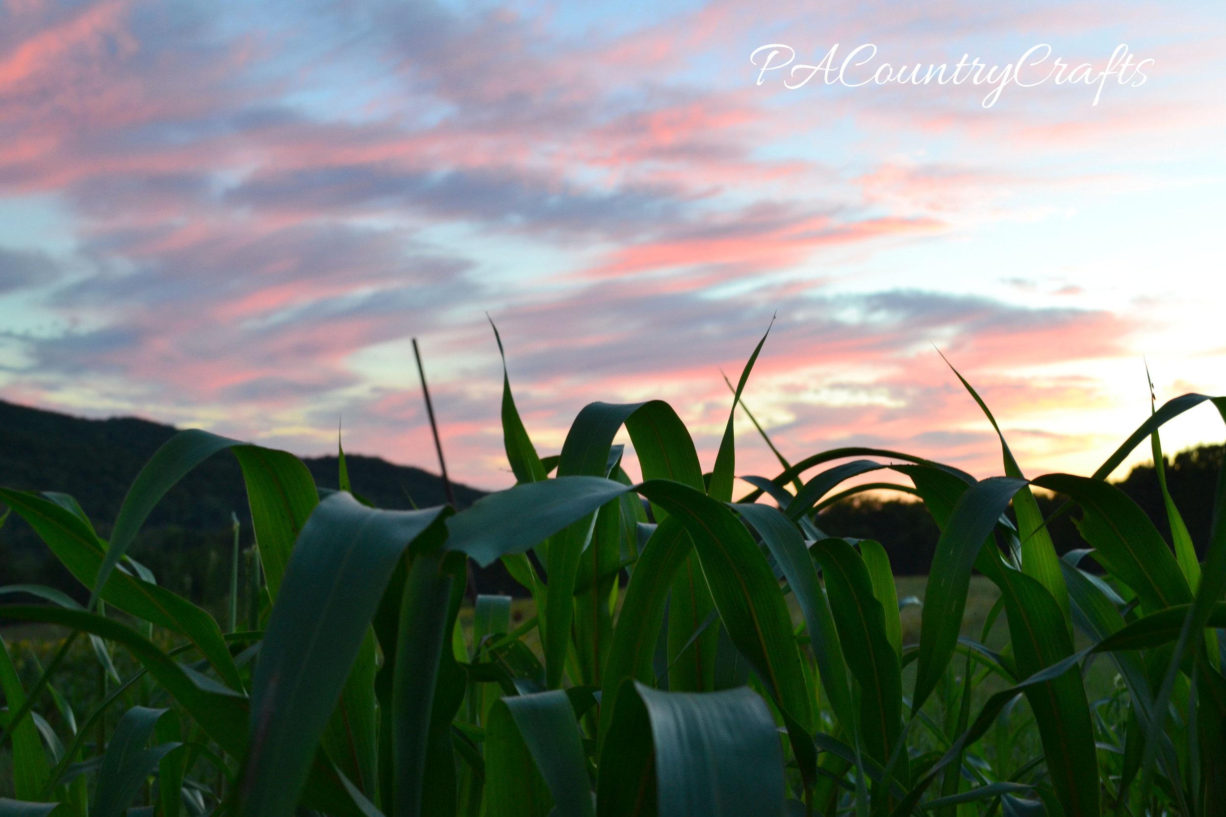 sunset over sudan grass field