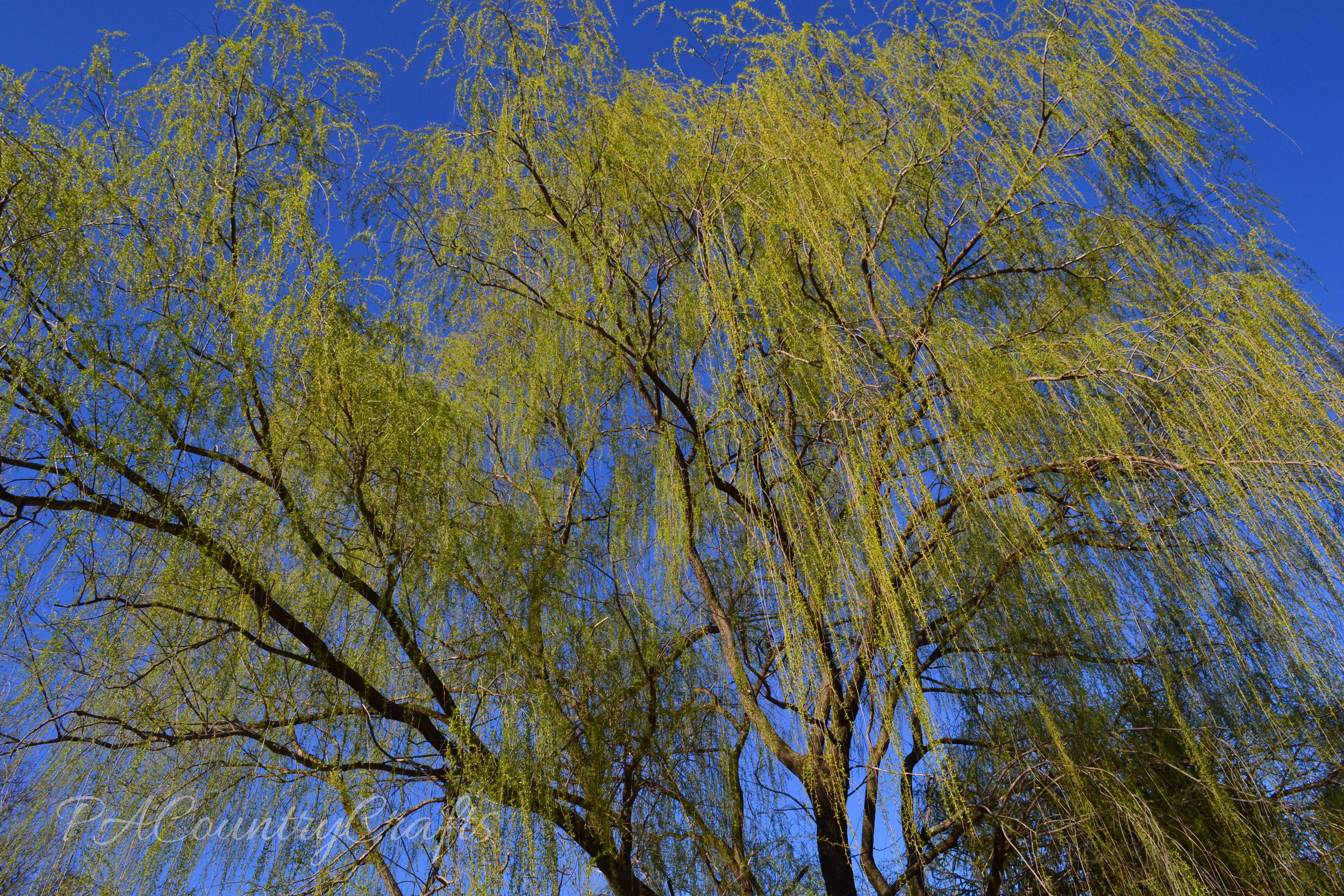 weeping willow tree buds