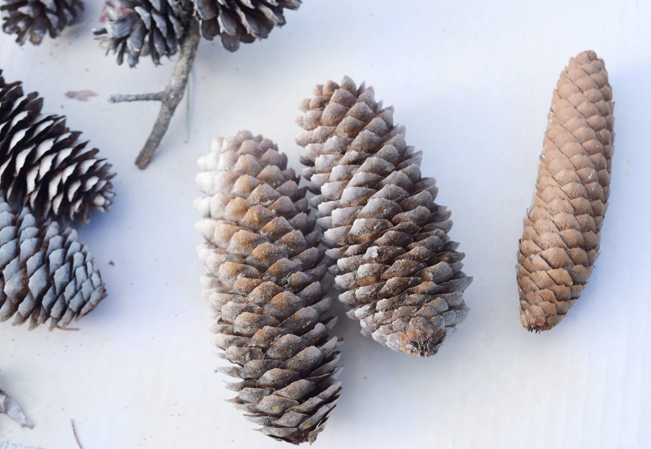 How to open pine cones