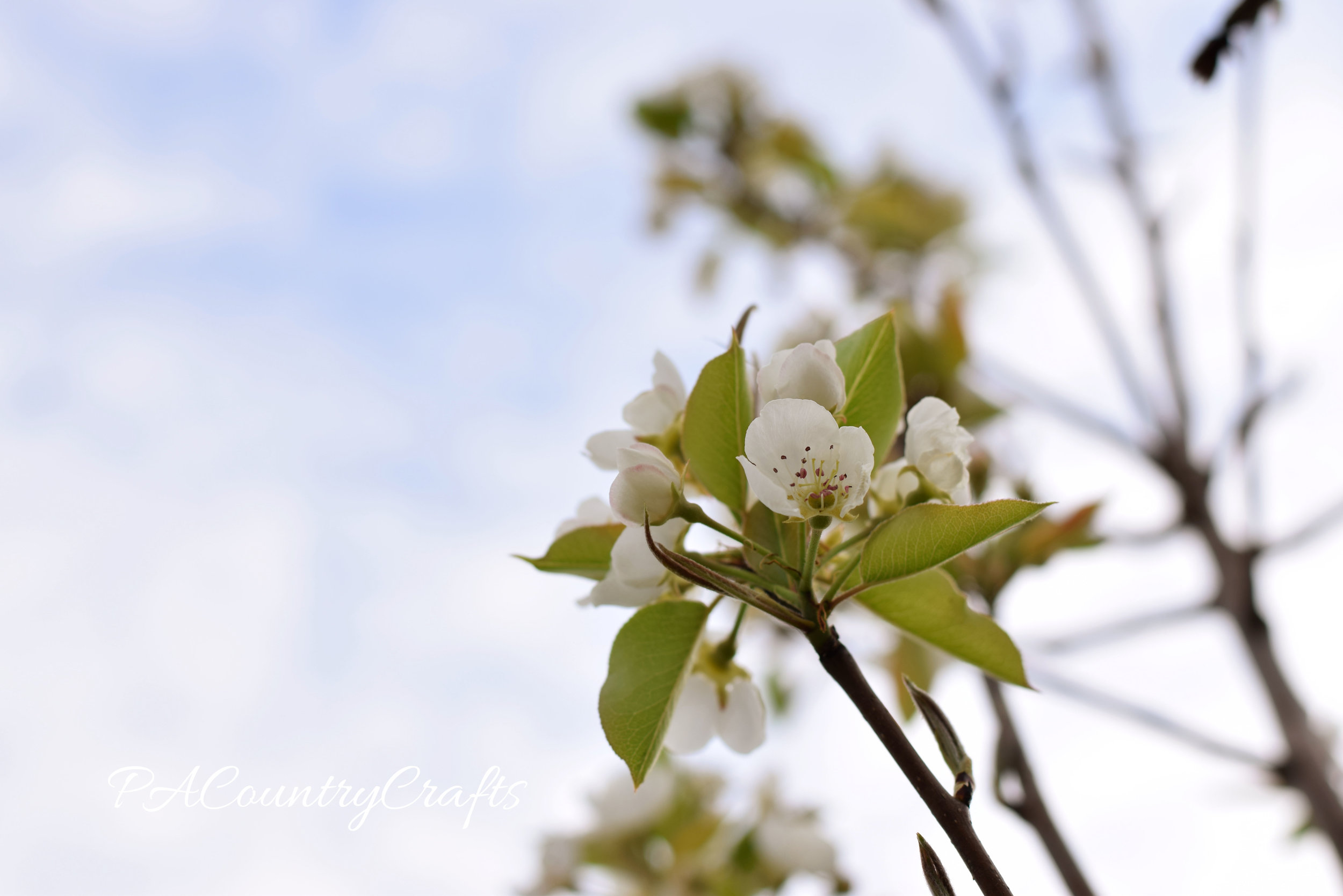 blossoms-against-sky_edited-1