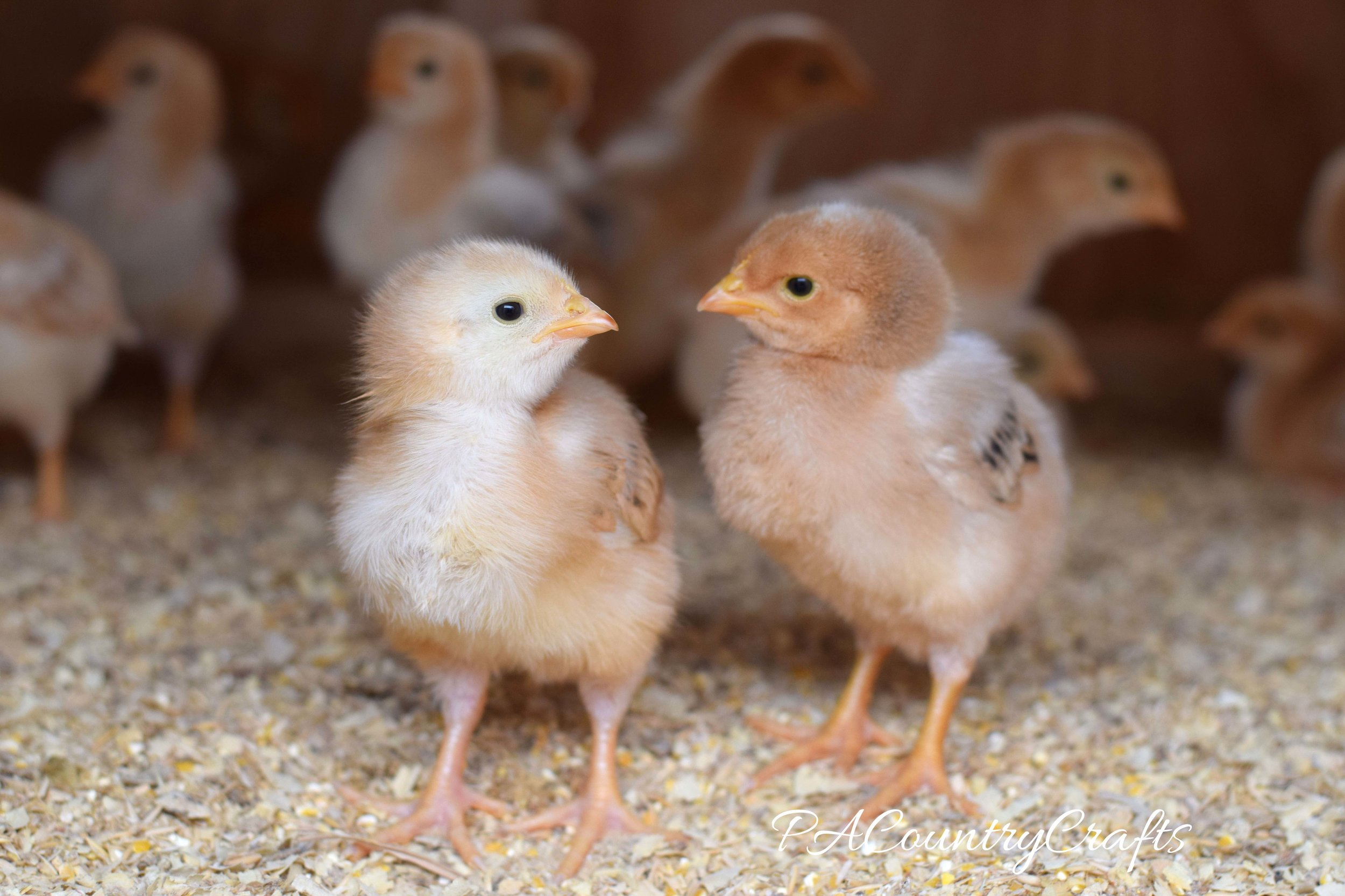 chicks-wm