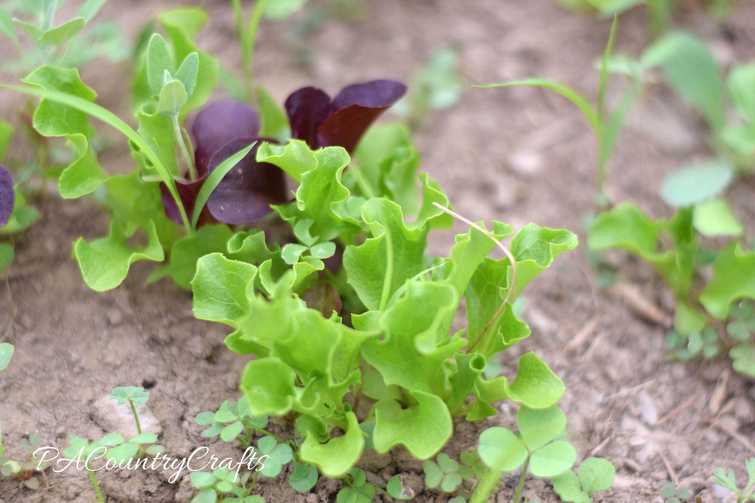 lettuce-in-greenhouse-wm
