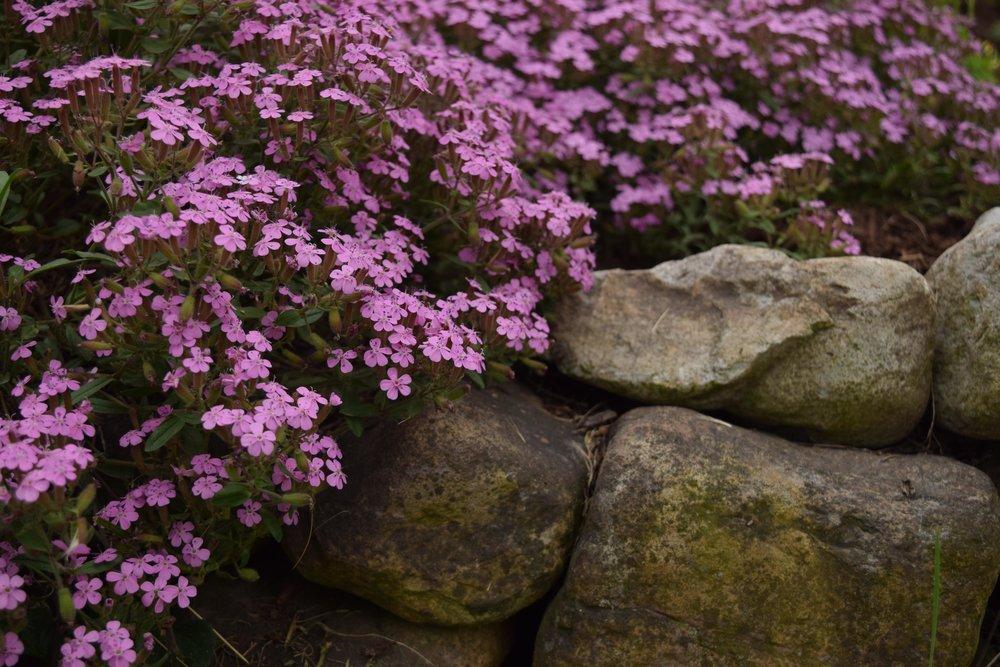 soapwort rocks.jpg