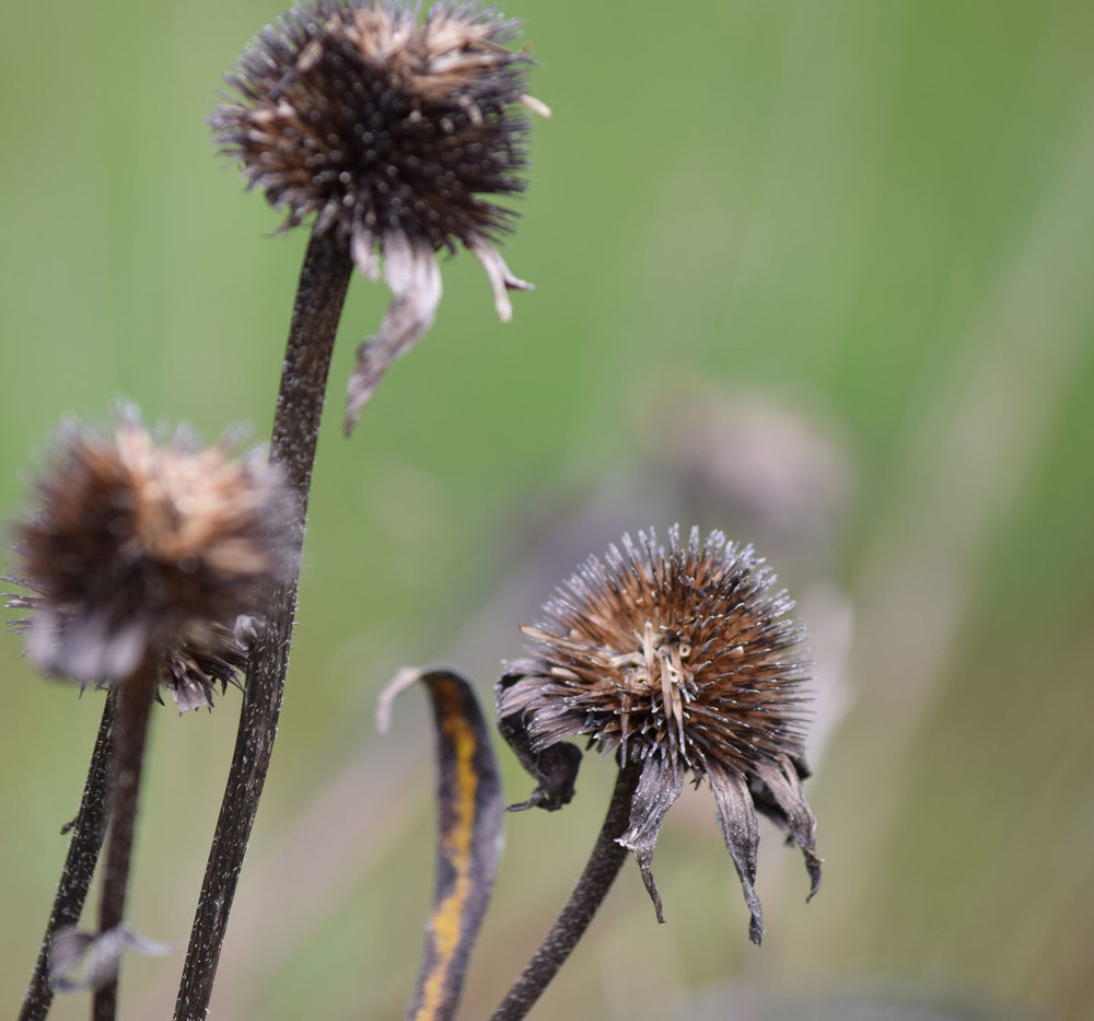 old-coneflower-stems.jpg