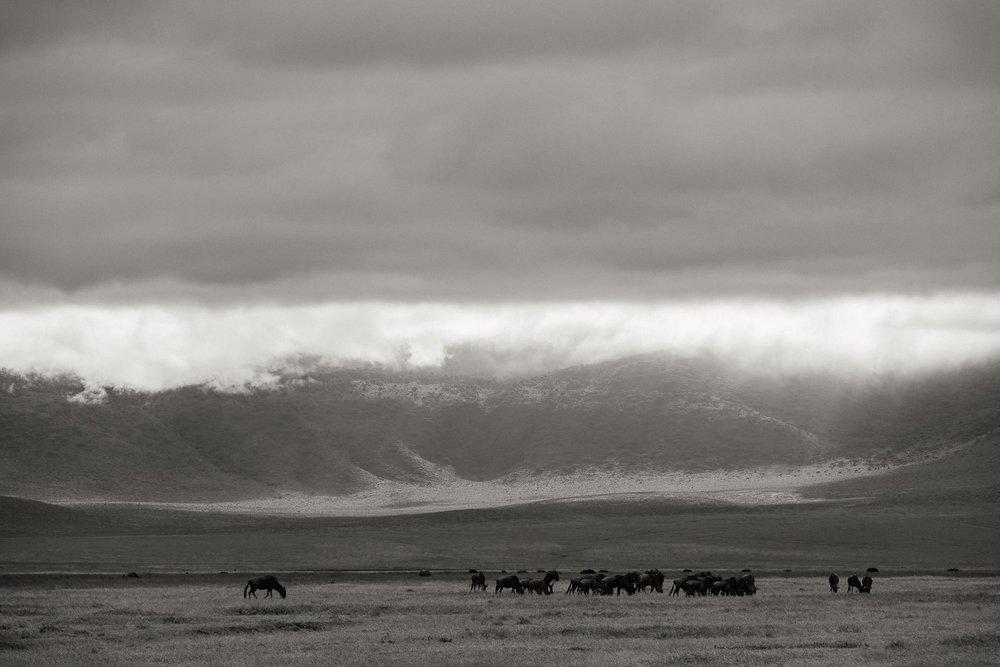 Gnus Herde im Ngorongoro Krater