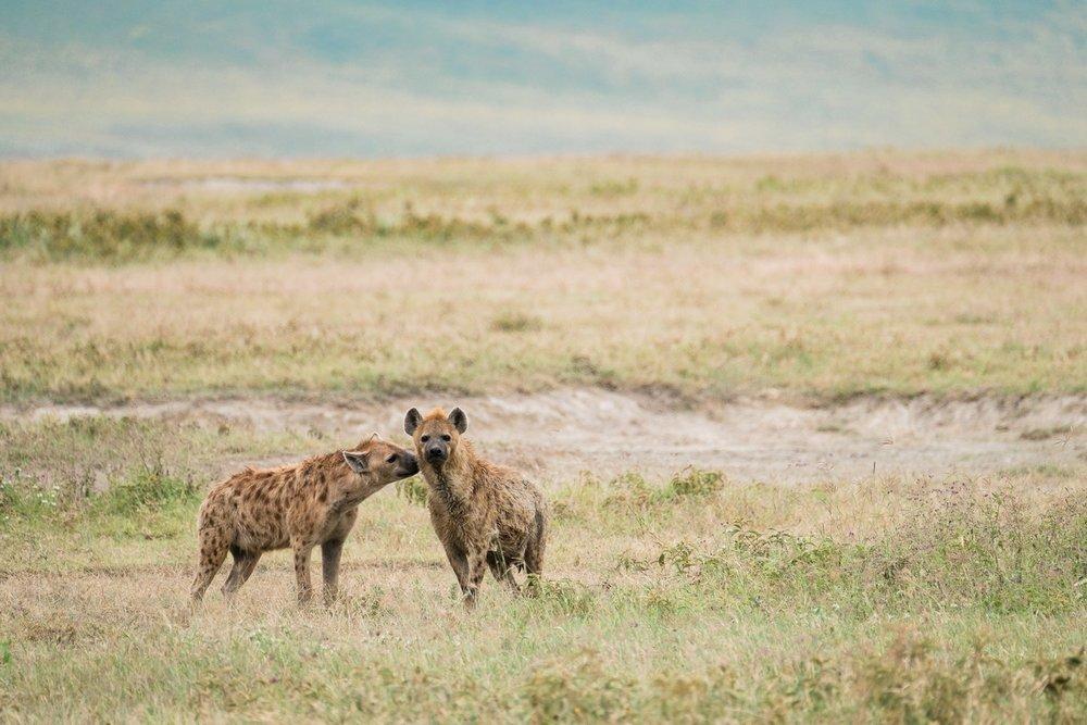 Zwei Tuepfelhyaene im Ngorongoro Krater