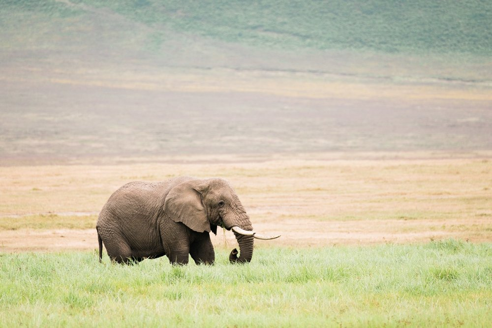 Afrikanischer Elefant Ngorongoro Krater