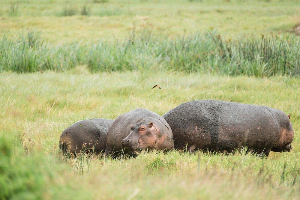 Nilpferd Familie im Ngorongoro Krater